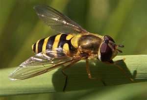 Although adult hover flies resemble bees, they don't sting.