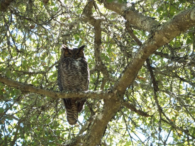 Great Horned Owl Perched in Tree.