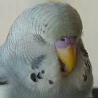 parakeet-colors-and-gender