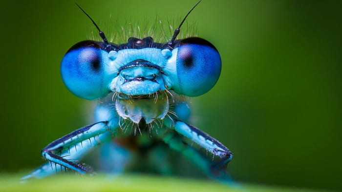 Looking at the full-length photos of the blue damselfly, you might not realize just how strange and beautiful these guys are up close.  Thank goodness for macro photography and the many photographers who get us up close to tiny creatures.