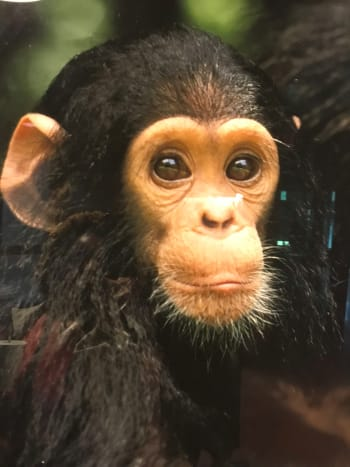 """The cutest little chimp who looked at us as visitors of the zoo as if he was saying, """"l know l'm adorable. My creator was so good to me because """"l got the looks."""""""