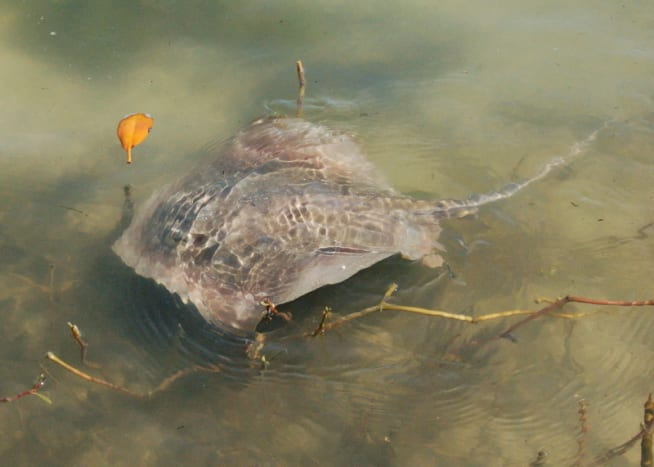 Stingray spotted on Indian River