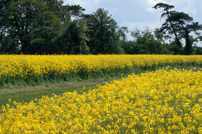 A Cambridgeshire field in bloom