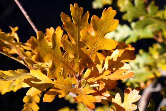 What beautiful autumn oak leaves!