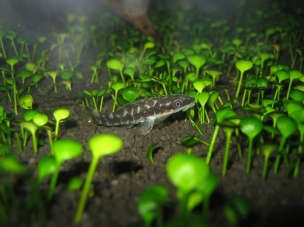 the-zebra-otocinclus-catfish