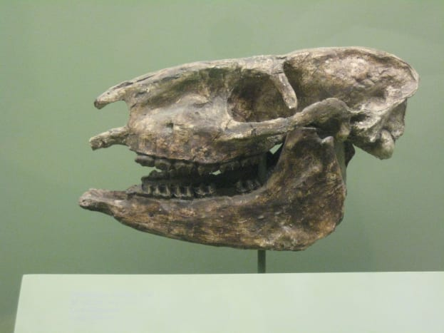 This is a fossil of the Miohippus that is believed to have come right after the eohippus.