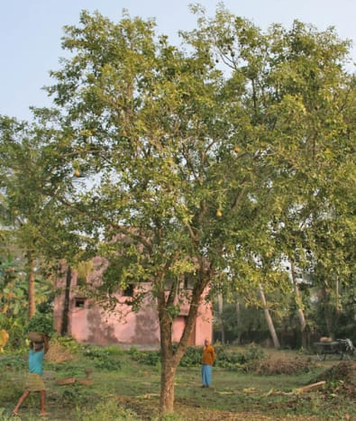 The bael or stone apple tree
