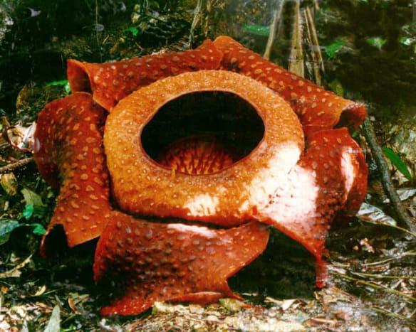Rafflesia the biggest flower on earth