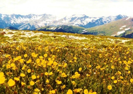 Alpine flowers seen from the Trail Ridge Road in Rocky Mountain National Park