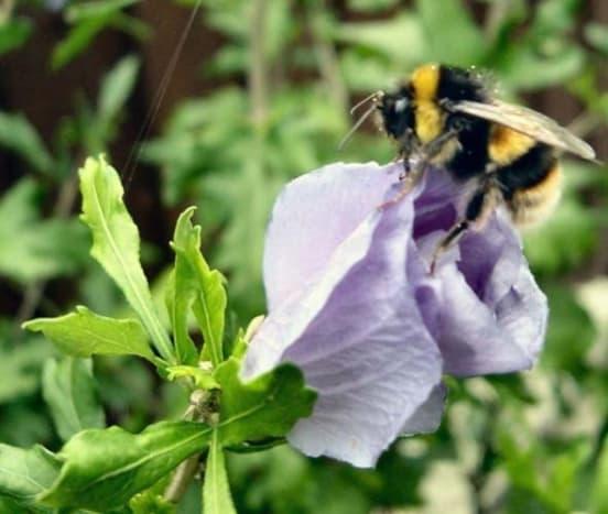 Bee oHibiscus