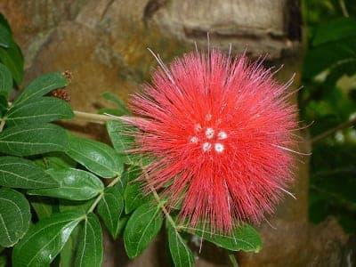 Showy blossom