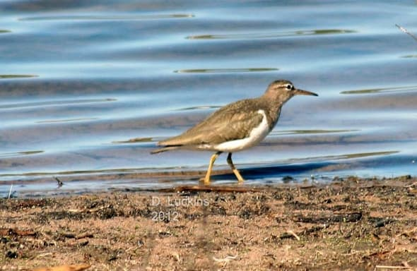 Spotted sandpiper, winter plumage.