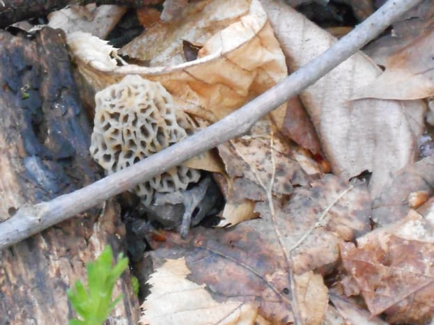 A fresh morel perfectly camouflaged in leaves and twigs.