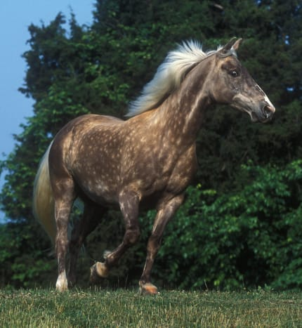 "A Rocky Mountain horse exhibiting the ""chocolate coat""."