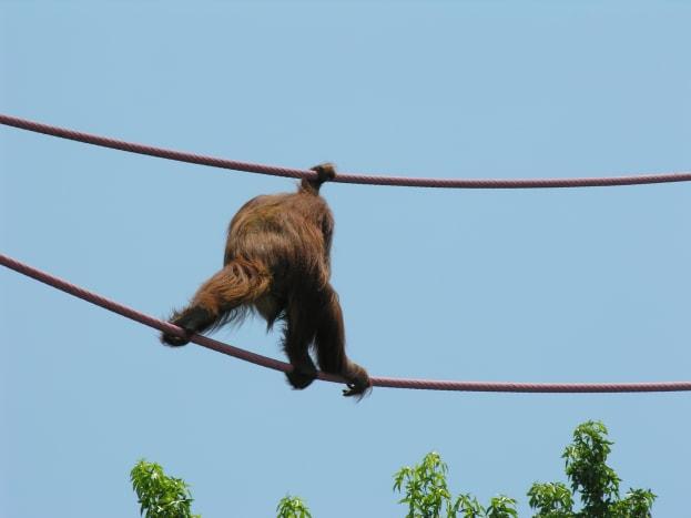 An orangatang on the O-Line, July 2008.