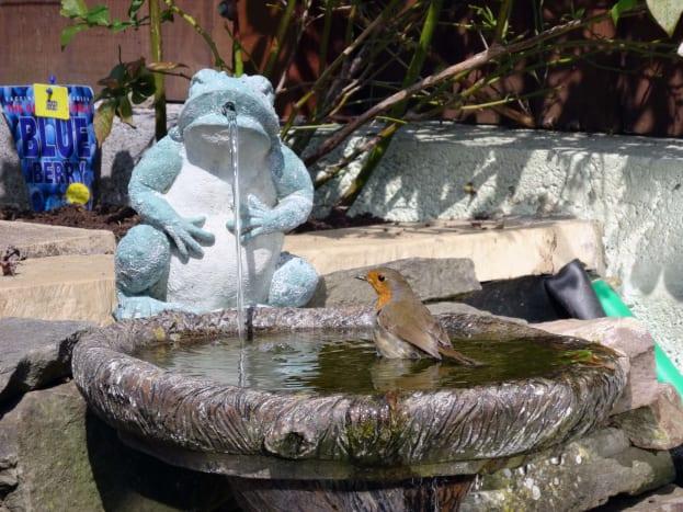 Robin in pond birdbath