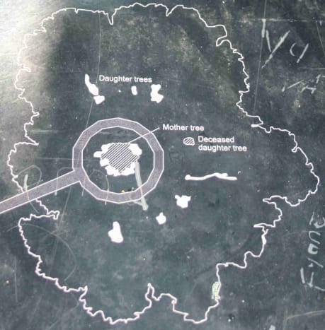 Diagram of the Wonderboom on one of the information plques in the reserve.