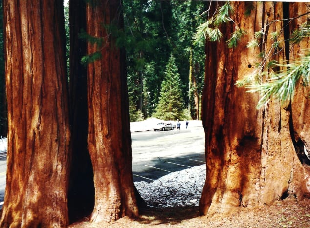 I am looking through the sequoia trunks back at my car in this photo.  It was late May at the time of our visit. The snow was in the upper elevations of the park.