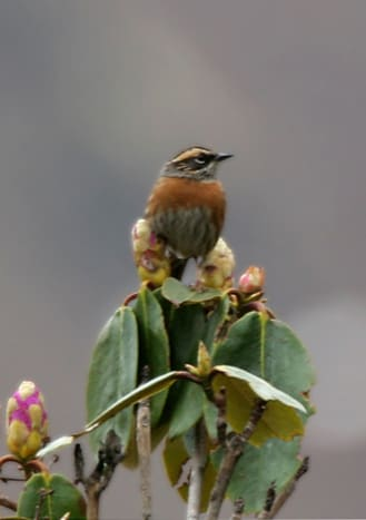 Rufous-breasted Accentor Prunella strophiata in Kullu