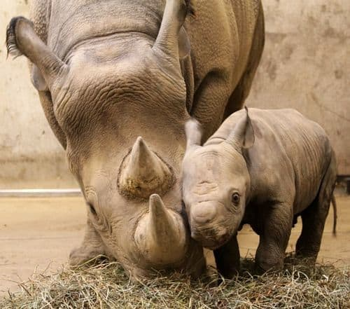 Black rhino and its calf at St Louis zoo,