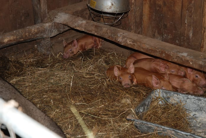 keeping-pigs-in-the-city-an-urban-farming-guide
