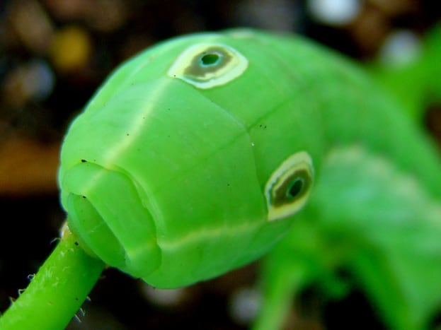 False eyes on a caterpillar