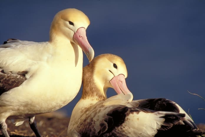 The short-tailed albatross is the largest of three albatross species found in the North Pacific Ocean.  They are distinguished mainly by their large, bubblegum-pink bill that has a bluish-colored tip.