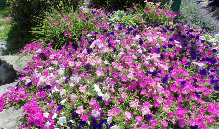 The flowers line every pathway and glow with health and beauty.