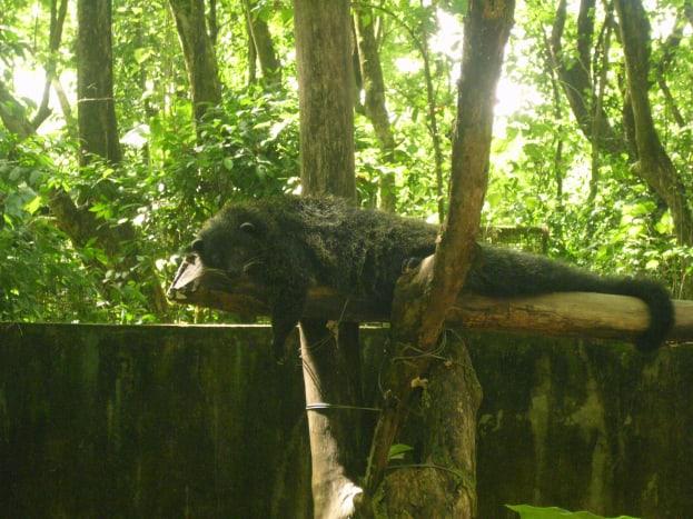 A Bearcat resting.