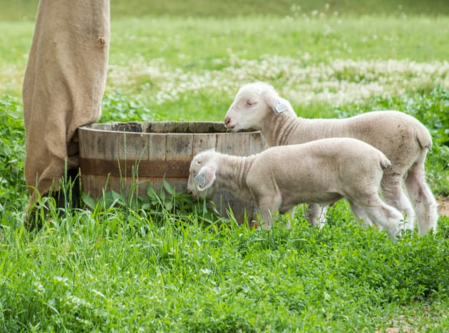 Lambs at Old World Wisconsin during the summer 2014.