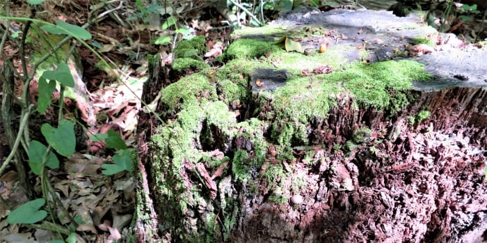 Moss growing on a tree stump