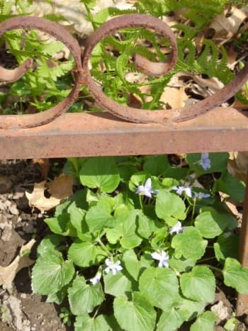 The first sign of violets