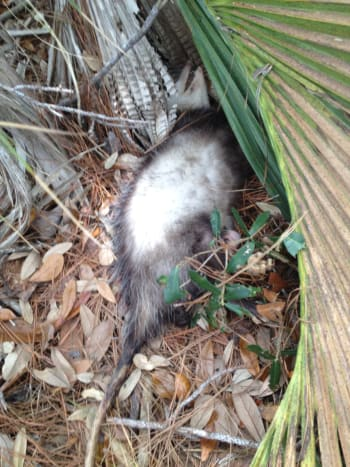 Dead possum near a creek