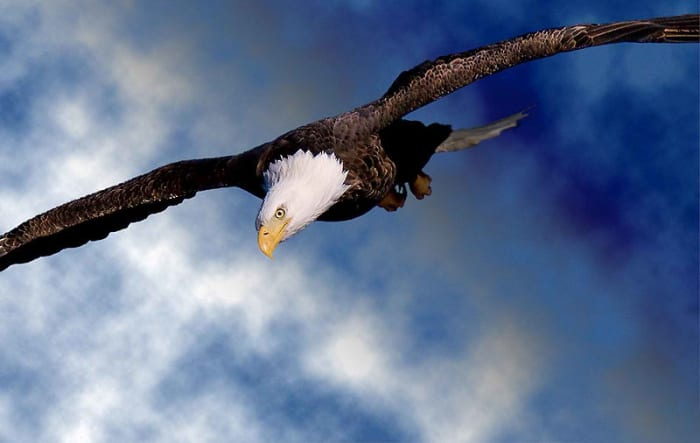 The Bald Eagle soars with wings flat