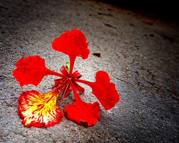 flame-of-the-forest-delonia-regia-the-gulmohar-tree