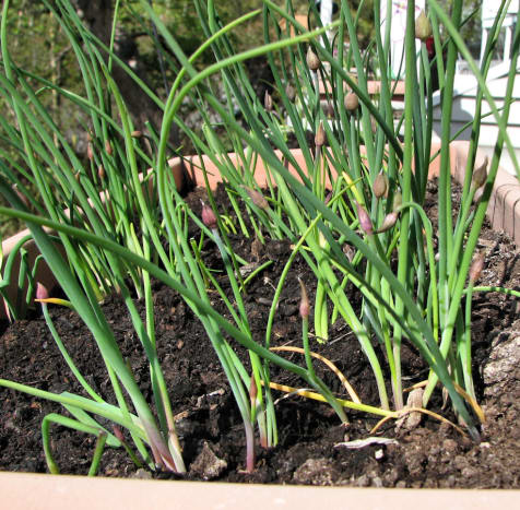 We stored our pots under our new balcony.  As we brought this one out, we found chives already growing!