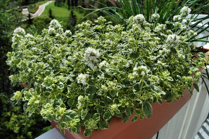 Our oregano did very well.