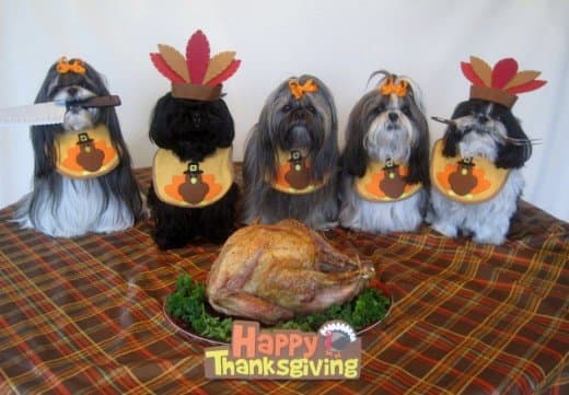 Shih Tzu doggies enjoying Thanksgiving!