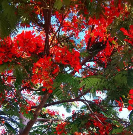 Flower in Flame tree | Archana Das