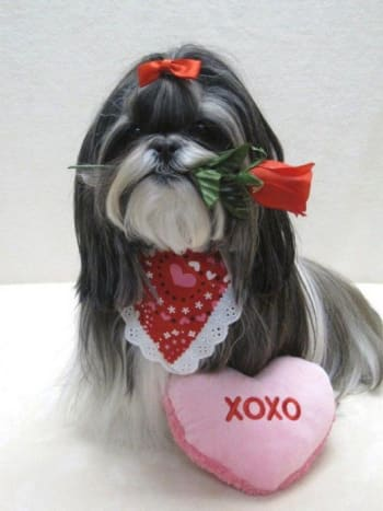 Shih Tzu and a Red Rose