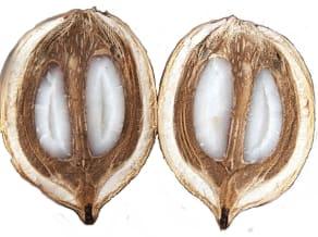 Babassu Seed