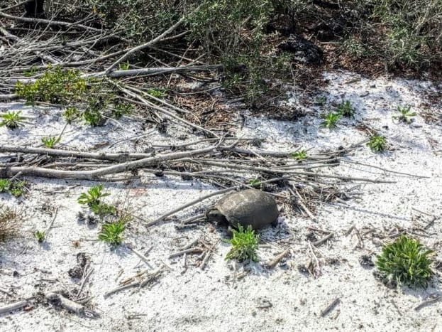 Gopher in the Sugar Sand. Gomez Preserve Nature Trail, Hobe Sound,  Florida.