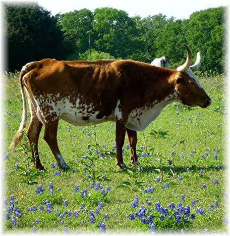 Cattle and bluebonnets