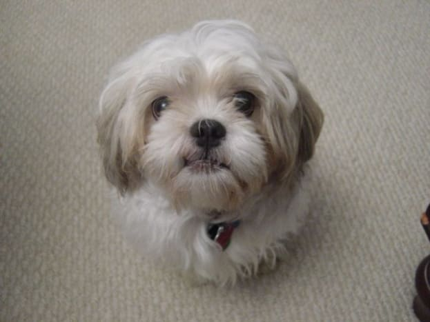 grooming-your-shih-tzu-simple-ways-to-keep-your-dog-clean