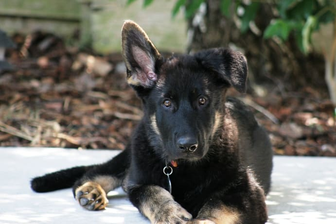 working-german-shepherds-as-pets-and-companions