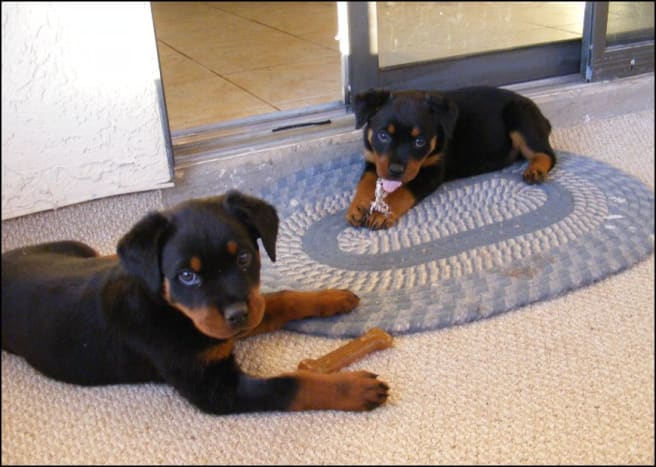 Petra and Kaiser, two rottweiler puppies, at 8 weeks old