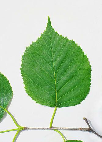 Paper Birch Leaf