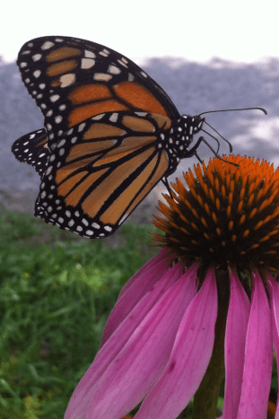 Monarch butterflies love coneflowers