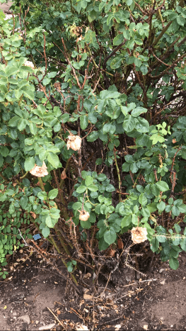 When we moved into our current home, this is what the area with the roses looked like.  They had been neglected and I thought they would never be beautiful again, but I was wrong.