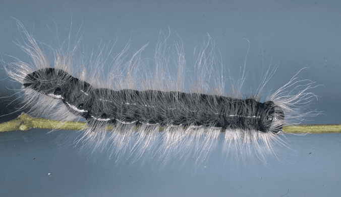 Walnut Caterpillar (Datana integerrima)